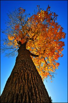 Fire Tree by crowt59, via Flickr