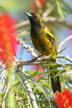 Küba Sarıasma kuşu
