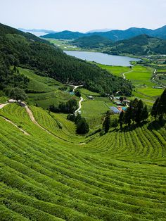 Tea plantation, South Korea