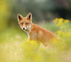 The Fox And The Flowers by Roeselien Raimond