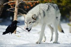 Crow watching a gray wolf!