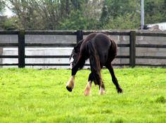 Jazz enjoying his downtime. #loveirishhorses #horseforsale VIDEO: https://www.facebook.com/CoopersHillLivery/videos/vb.304410449606132/1059601084087061/?type=2&theater