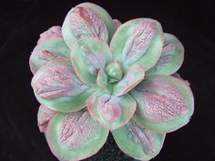 Echeveria 'Baron Bold' | Flickr - Photo Sharing!