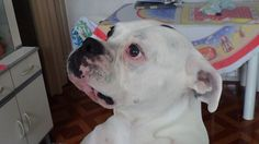 [Cão] Boxer Alemão Branco [Dog] SP Photo by Carlos Campos #004
