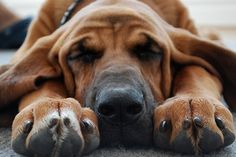 This looks like my old Danny Dog, the Redbone Coonhound Pet Dogs, Dogs And Puppies, Dog Cat, Doggies, Baby Dogs, Animals Beautiful, Cute Animals, Stinky Dog, Bloodhound Dogs