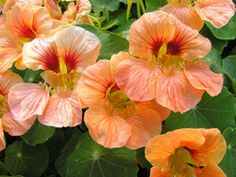 peach melba nasturium - nasturtiums make great companion plants as they are a favourite of aphids. The aphids will leave the infected plants for nasturtiums, but the nasturtiums do not seem to suffer for it...I plant these around my nine barks who seem particularly susceptible