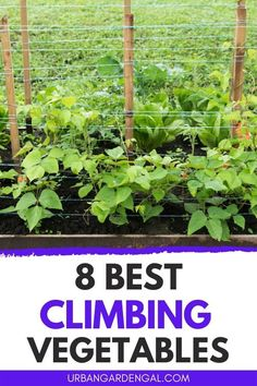 Climbing vegetable plants are ideal for small gardens because they grow vertically. Here are 8 of the best climbing plants for your vegetable garden