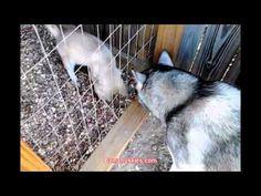 Attack dog Bella the husky puppy