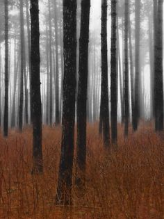 ✯ Fog and Pines