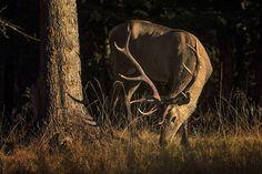 GREAT HUNTING: Vysoká (jelen) v lesním šeru