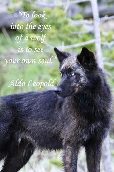 "BLACK WOLF in YELLOWSTONE NATIONAL PARK – ""To look into the eyes of a wolf is to see your own soul.""  -- Naturalist Aldo Leopold – on image by F. McGinn – Wild beauty in nature is a national treasure. http://www.examiner.com/article/wolves-lose-endangered-species-status-wyoming?cid=rss"