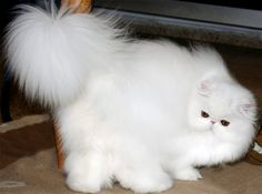 white persian ---Willstoncats Cattery