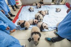 14 panda cubs on a blanket. China's Giant Panda Research Center. Photo by Ami Vitale.