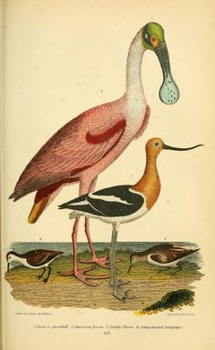 American Ornithology: The natural history of the birds of the United States, Alexander Wilson, Vol II, 1876.