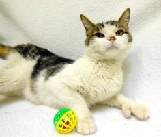 Pioneer is an adoptable Extra-Toes Cat (Hemingway Polydactyl) Cat in Bowling Green, OH. Pioneer came to us from a cruelty case. Upon intake he was a little reserved but he is warming up. He is special...