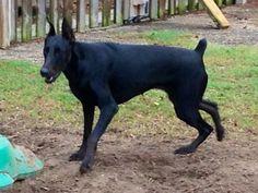 SHADY from Matute Kennel solid black melanistic Doberman Colors, Black Doberman, Doberman Shepherd, Companion Dog, Miniature Pinscher, Dog Pin, Animal Books, Doberman Pinscher, Beautiful Dogs