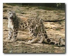 Give your interiors a makeover with this wonderful leopard in snow mountain lion wildlife animal poster. Your love for animals can now be seen on the walls of your home with this wonderful animal inspired wall poster. Your guests will definitely compliment you for your excellent taste. Hurry up! Make your order today.