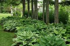 Aiken House gardens...love the idea of a hosta bed under the trees...I need to do this in several places in my yard.