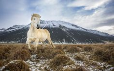 Icelandic Horse - Iceland Photo by Peter Izzard — National Geographic Your Shot
