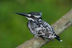 Pied Kingfisher by Santanu Banik on 500px