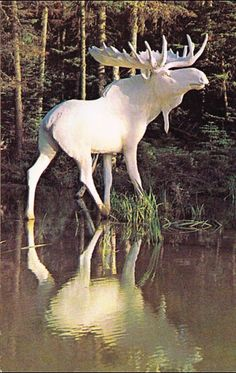 Albino Moose.