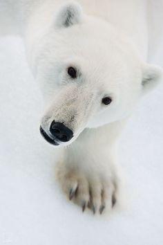 Polarbear eats tight ass