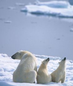 Polar bear mother with her cubs in Spitsbergen, Norway