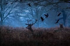 It was a freezing morning in Richmond, UK. I was out photographing the stags from behind some bushes, almost leveled with the ground when a flock of birds flew in the shot giving it a dream-like mood.