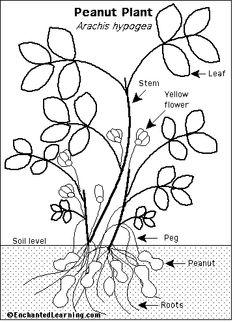 George washington carver diagram of peanut plant these are peanut plant anatomy ccuart Images