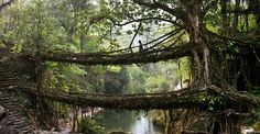 """""""For the last 500 years, the locals ofNongriat in Meghalaya, India have grownseveral hundredbridges across the region's numerous water channels, using just the roots of local ribber trees. Some of the bridges extend over 100 feet in length and are strong enough to support more than 50 people at a time."""""""