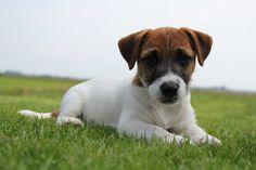klein hondje aangeboden - Google zoeken