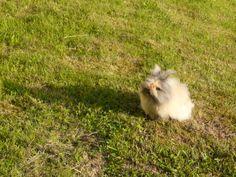 Pitchoune, mon petit lapin nain angora