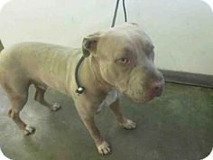Los Angeles, CA - Pit Bull Terrier. Meet A1622735, a dog for adoption. http://www.adoptapet.com/pet/15400663-los-angeles-california-pit-bull-terrier