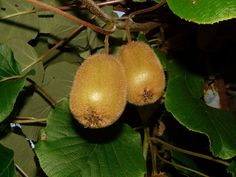 The recent decoding of the kiwifruit genome has discovered that the fruit has many genetic similarities to other plant species, including potatoes and tomatoes, among other surprises. Pot Plante, Plant Species, Plantation, No Cook Meals, Free Photos, Pergola, Stock Photos, Fruit, Green