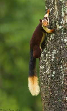Malabar Giant Squirrel by Mahesh Reddy