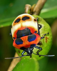 Camellia Shield Bug/Tea Seed Bug (Poecilocoris latus, Scutelleridae, Hemiptera) This beautiful shield-backed bug is a pest of tea plantations. Cool Insects, Small Insects, Bugs And Insects, Shield Bugs, Pictures Of Insects, Most Beautiful Birds, Alien Worlds, Beetle Bug, Insect Art