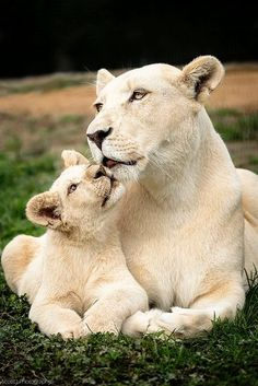 White Lion mother and cub | nature | | wild life | #nature #wildlife  https://biopop.com/