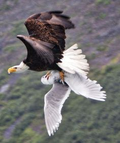 Bald Eagle in Alaska caught a seagull for dinner. Eagle Pictures, Wolf Pictures, Bird Pictures, Beautiful Birds, Animals Beautiful, Bold Eagle, Kinds Of Birds, Wild Creatures, Birds Of Prey