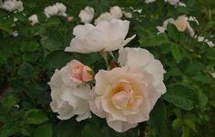 Strauchrose Feeling - Rosenparadies Loccum