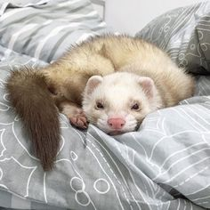 ferret doing a perfect dragon pose