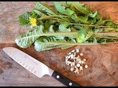 COMO MELHORAR A SAÚDE DO CORPO: How to harvest, prepare, and use dandelion leaf an...