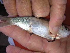 Baiting live fish