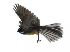 Fantail Sea Birds, Wild Birds, Nz Art, Kiwiana, Forest Friends, Nature Journal, Bird Pictures, Digital Stamps, Bird Art