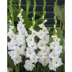 White glads - 120 flowers for $229.99