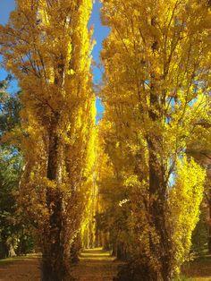 Tree-lined avenue in autumn (Bright, Victoria, Australia)