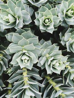 succulents, plants, green, nature