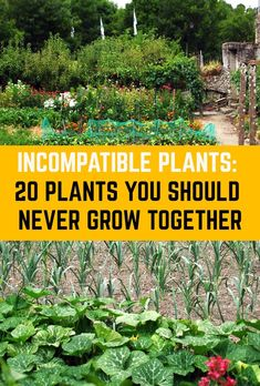Companion planting has gained great momentum amongst novice and experienced gardeners alike; especially with those who aim to grow maximum food in minimum space. Some plants like marigolds and a few other aromatic herbs are Calendula, Summer Plants, Summer Garden, Vegetable Garden Design, Vegetable Gardening, Spring Vegetable Garden, Vegetable Garden Planning, Flower Gardening, Organic Gardening Tips