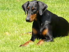 #Doberman #Pinschers