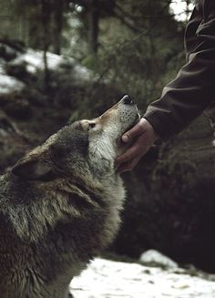 Can I please have a wolf dog? Might be the best for survival on for a fear factor for anyone else attempting to approach you.