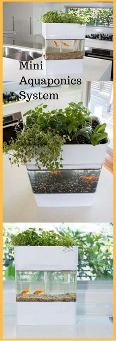 "Aquaponics System - Mini Aquaponics System. What a great way to show a mini ecosystem ""Break-Through Organic Gardening Secret Grows You Up To 10 Times The Plants, In Half The Time, With Healthier Plants, While the Fish Do All the Work..."" Break-Through Organic Gardening Secret Grows You Up To 10 Times The Plants, In Half The Time, With Healthier Plants, While the Fish Do All the Work... And Yet... Your Plants Grow Abundantly, Taste Amazing, and Are Extremely Healthy #minigardens"